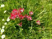 Kvetoucí tulipány Václav Kovalčík Zlín