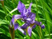 Iris sibirica II