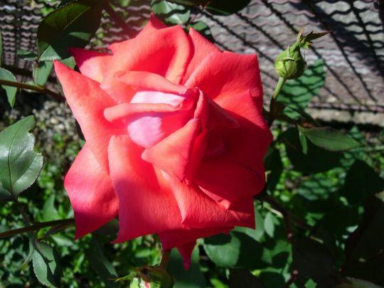 Horká růže: Václav Kovalčík, Zlín