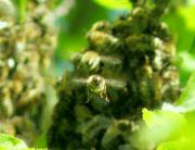 včely při rojení