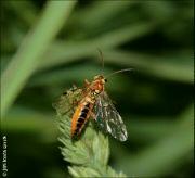 Tenthredopsis nassata