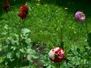 Kvetoucí jiřinky