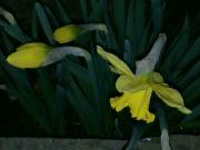 Kvetoucí narcisy v noci