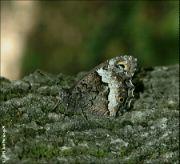 Okáč medyňkový