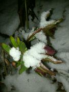 Čemeřice nachová v noci pod sněhem