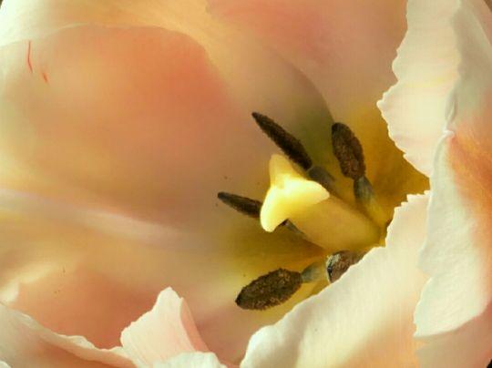 Detail květu tulipánu