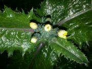 Kvetoucí mléč v noci