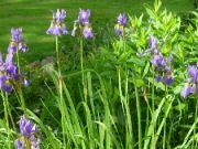 Iris sibirica I