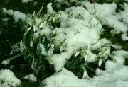 Sněženky
