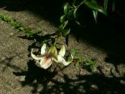 Kvetoucí lilie: Václav Kovalčík, Zlín