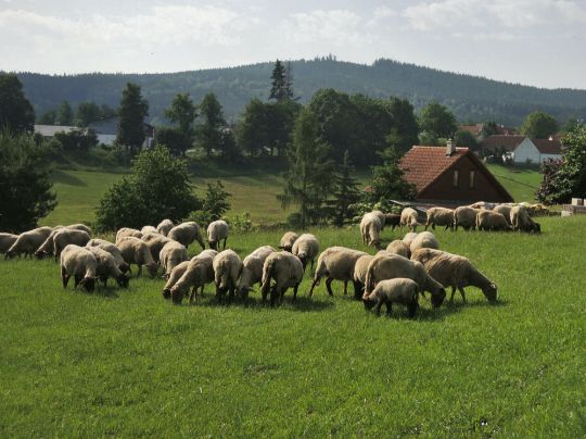 Ovečky u Krasetína