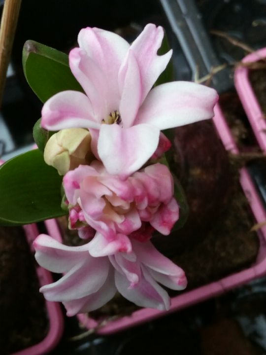 Hyacinthus orientalis: Václav Kovalčík