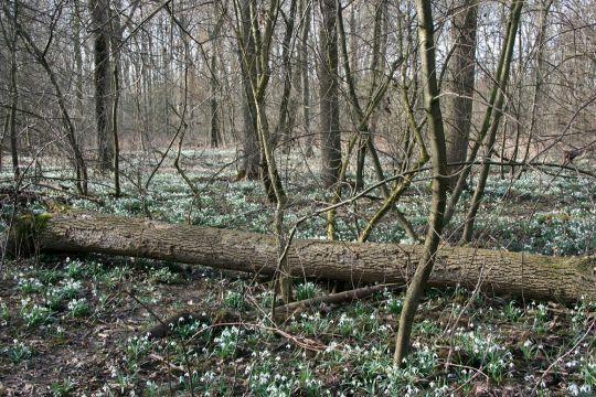 Les plný sněženek