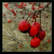 Listopadová červeň