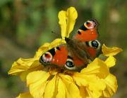 Motýl na afrikánu