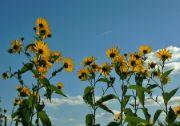 Slunečnice topinambur