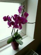 Kvetoucí Phalaenopsis v kostele