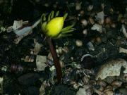 Kvetoucí talovín v noci