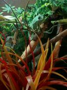 Chameleóni jemenští ve zverimexu