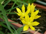 Okrasný česnek Allium moly