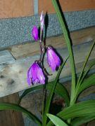 Orchidej vzpřímená: Václav Kovalčík