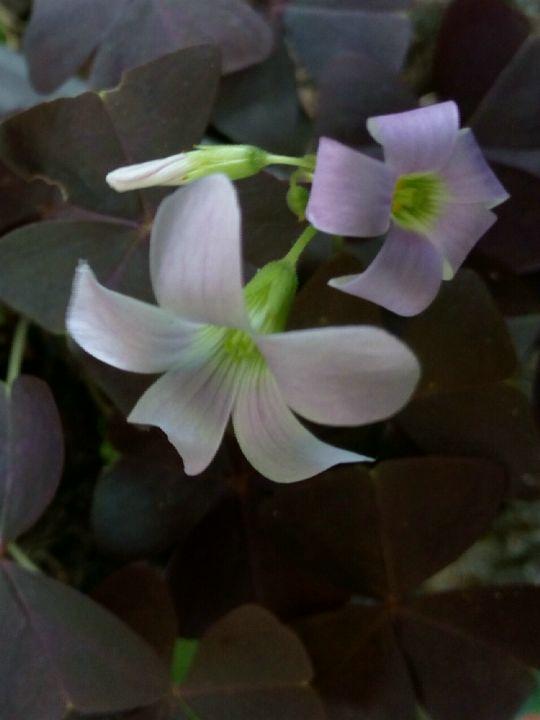 Kvetoucí šťavel trojhranný