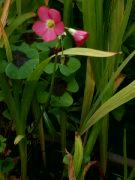 Kvetoucí šťavel ´Iron cross´