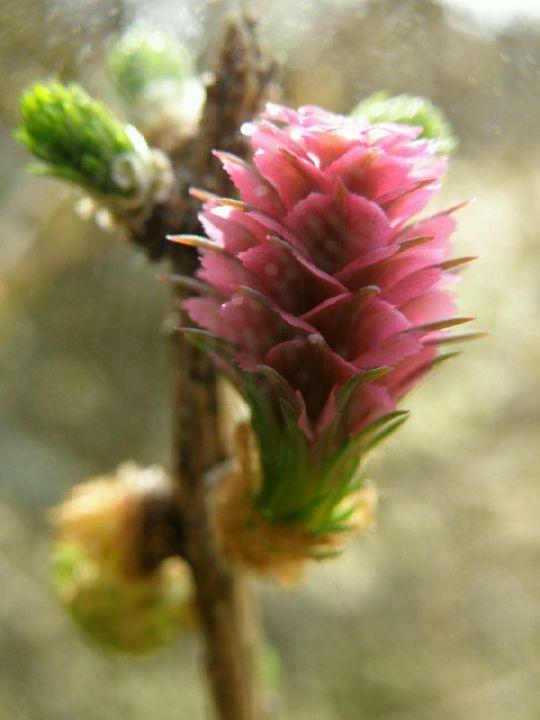 modřínový květ