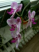 Kvetoucí Phalaenopsis: Václav Kovalčík