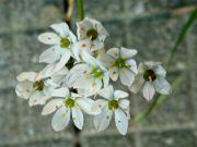 Allium neopolitanum: Václav Kovalčík