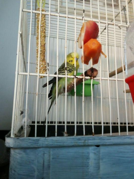 Náš Papoušek andulka