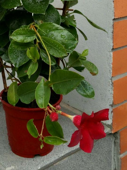 Kvetoucí Mandevilla