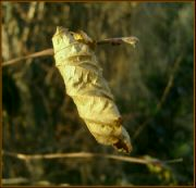 suchý list