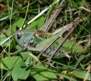Kobylka hnědá