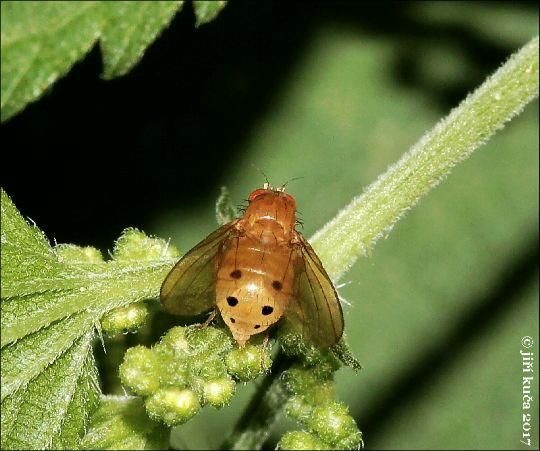 Sapromyza sexpunctata