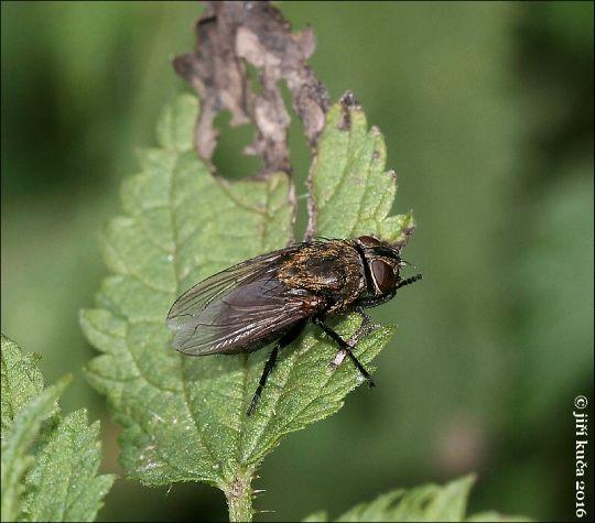 Bzučivka zední