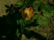 Kvetoucí tulipán: Václav Kovalčík, Zlín