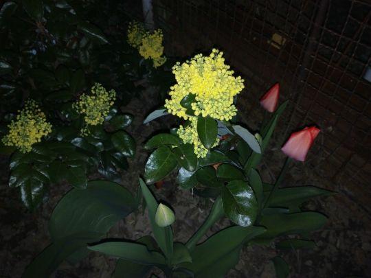 Tulipány a mahónie v noci