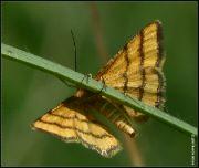 Žlutokřídlec zlatožlutý