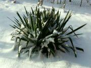 Juka vláknitá ve sněhu