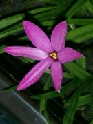Kvetoucí Rhodohypoxis v noci