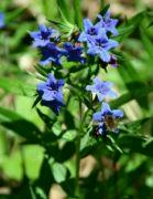 Kamejka modronachová