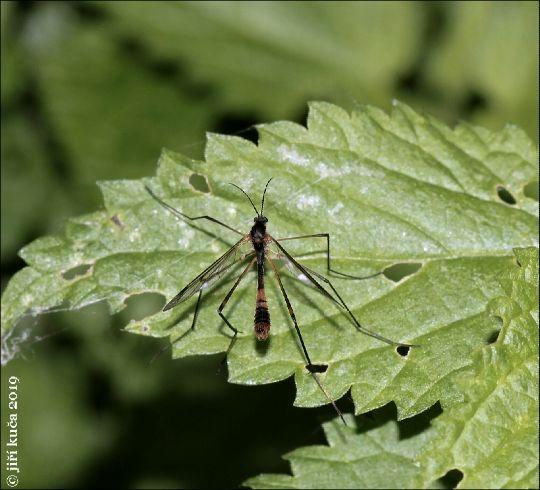 Ptychoptera albimana