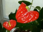Kvetoucí anthurie v kostele