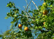Pravé kubánské pomeranče