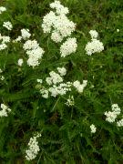 Kvetoucí řebříček