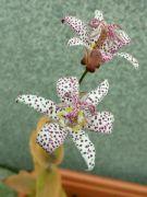 Hadí lilie Tricyrtis hirta