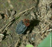 Mrchožrout rudoprsý