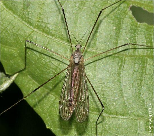 Austrolimnophila ochracea