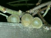 Plody kiwi v noci